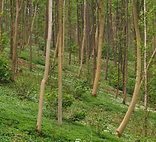 Millington Wood With Ramsons by WatscapePhoto