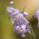 Bluebell by PinkK