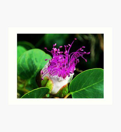 The Caper Flower Art Print