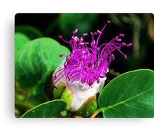 The Caper Flower Canvas Print