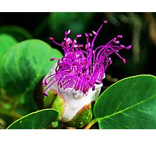 The Caper Flower Photographic Print