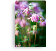 Angelic Aquilegia Canvas Print