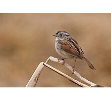 Easter morning Swamp Sparrow. Photographic Print