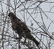 Partridge in a Pussywillow Tree by Rochelle Smith
