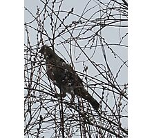 Partridge in a Pussywillow Tree Photographic Print