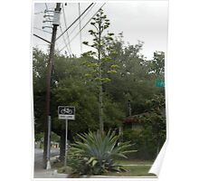 Century Plant in Bloom in the City - Agave americana Poster