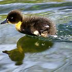 Mallard Duck Chick Racing by Paul Collin
