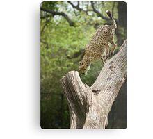 Cheetah Leaping Metal Print
