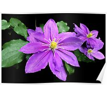 Clematis in the Shadows Poster