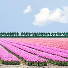 Dutch bulb field by Lifeware