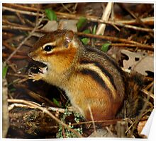 What?  It's a Delicacy (Eastern Chipmunk) Poster