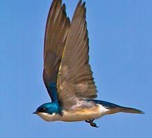 Tree swallow flight by jamesmcdonald