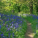 Bluebells galore  by DIANE  FIFIELD
