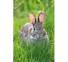 Cottontail Rabbit. Photographic Print