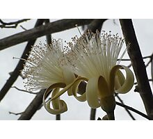 Jamaican Flowering Tree 2 Photographic Print