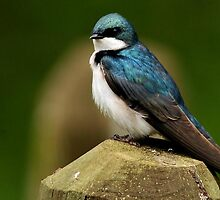 TREE SWALLOW by RoseMarie747