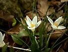 Finally Spring.... a sure sign... by Larry Llewellyn