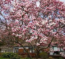 Magnolia tree in full bloom by Poete100