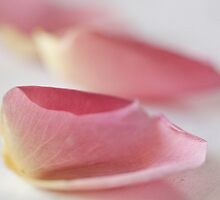 rose petals by Hege Nolan