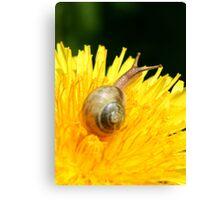 Snail visiting Dandelion Canvas Print