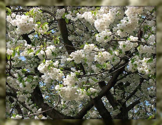 Rustle of Spring - White Tree Blossoms by BlueMoonRose