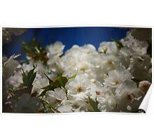 Mt. Fuji Cherry Blossom Flowers In Full Bloom Poster