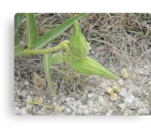 Antelope Horns Seed Pods Canvas Print
