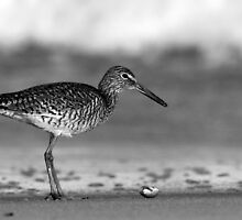 Willet Stand by J. L. Gould