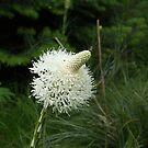 Beargrass Bloom - Craigellachie, British Columbia, Canada by Rebel Kreklow