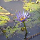 water lilly  by britt thomson