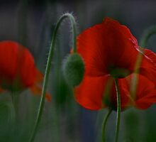 My love poppies  .  Kocham maki .  L O V E  POPPIES  .  Andrew Brown Sugar.  Views: 324 . thank you a bunch ! Ok! ok! by © Andrzej Goszcz,M.D. Ph.D