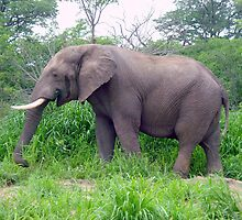 On my own!  African Elephant, Chobe National Park, Botswana, Africa. by Irene  van Vuuren