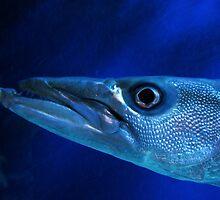 Oooo Barracuda by Ashli Amabile
