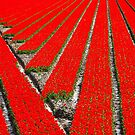 Lines in the tulip field by Adri  Padmos