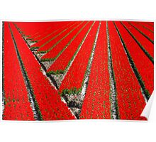 Lines in the tulip field Poster
