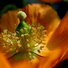 Poppy by Paul Revans