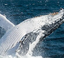"""JOY"" - Humpback Whale Breaching by Karen Willshaw"