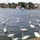 Swans at Walton by Steven Mace