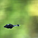 Alligator Mississippiensis by Joe Jennelle