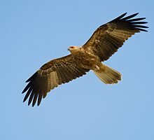 """On the Wing"" - Whistling Kite by Karen Willshaw"