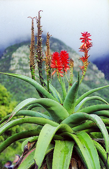 Capetown Foliage, South Africa by Alberto  DeJesus