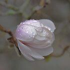 Magnolia by Anne Smyth