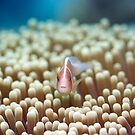Anemone and Pink clownfish by MotHaiBaPhoto Dmitry & Olga