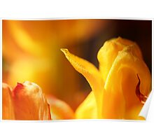 Wilting Tulips in the Spring Sun Poster
