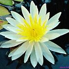 Water Lilly by Monte Roberts