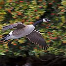 Canada Goose Landing by Randall Ingalls