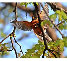 A couple of robins ! Photographic Print