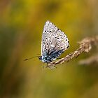 Brown argus by cuprum