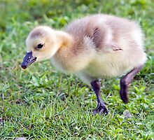Gosling by Randall Ingalls