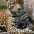 Jaguar Afternoon by Timothy Meissen